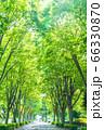 木漏れ日の入る街路樹と道 66330870