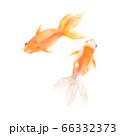 金魚 水彩イラスト風 66332373