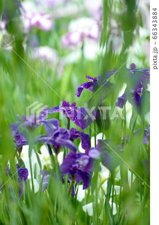 初夏に柳の合間に見える花菖蒲 縦 66343884