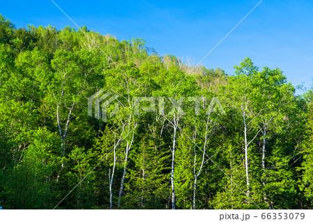 《長野県》新緑の志賀高原・白樺の森 66353079