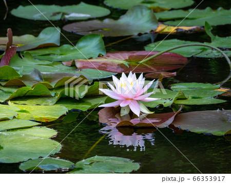 池一面に咲き始めた美しいハスの花 66353917