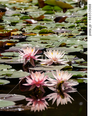 池一面に咲き始めた美しいハスの花 奥の2花に焦点合わせ 66353988