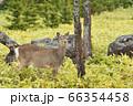 知床の森で出会ったエゾシカ(北海道) 66354458