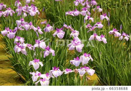 6月に入り見頃を迎えた北山公園の花菖蒲(3) 66358688