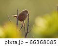 早朝に囀るミソサザイ(北海道) 66368085