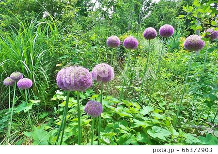 巨大なネギボウズのような紫色の花を咲かせるアリウム・ギガンチウム 66372903