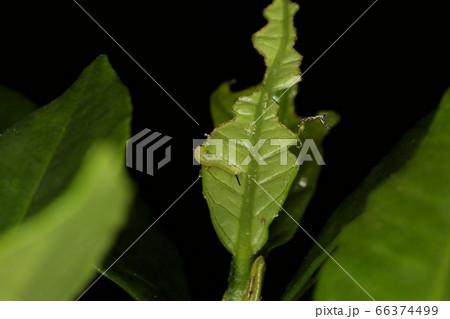 オオスカシバ若齢幼虫、クチナシの害虫 66374499