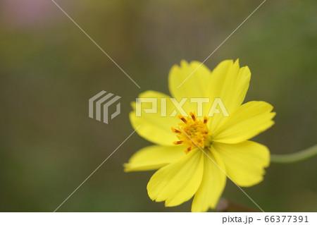 黄色い一輪のコスモスの花 一輪のコスモスの花 66377391