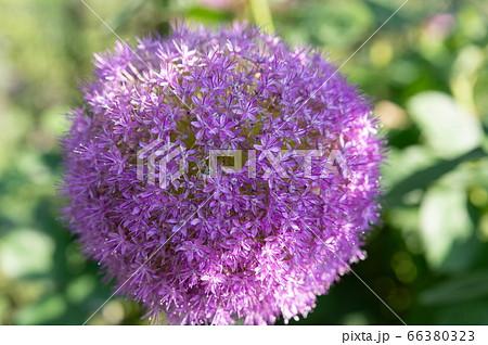 新緑の中咲く地球のように丸い紫の花 66380323