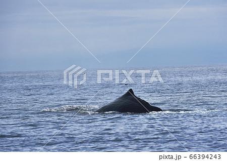 潜水を始めるマッコウクジラ(北海道・羅臼沖) 66394243