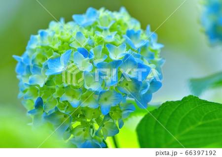 光を浴びて輝く淡いブルーのアジサイ 66397192