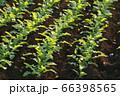 朝日に照らされ生き生きとしている大根の苗たち 66398565