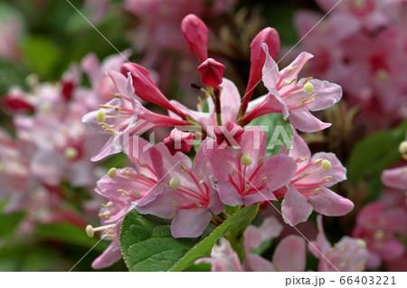 タニウツギの赤い蕾とピンクの花 福島県只見町 66403221