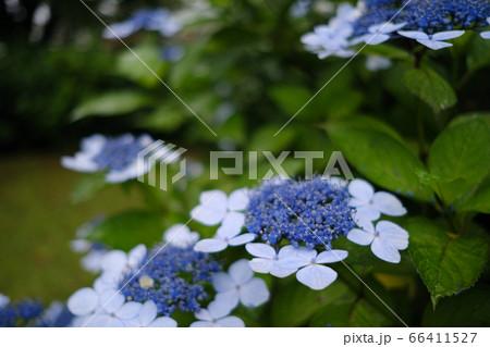 青色が美しいタマアジサイの美しさ 66411527