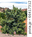 Young beautiful thuja. 66417312