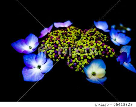 大輪の花を咲かせたような額紫陽花 66418328