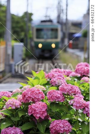 満開のピンクに染まった紫陽花と江ノ電 66432172
