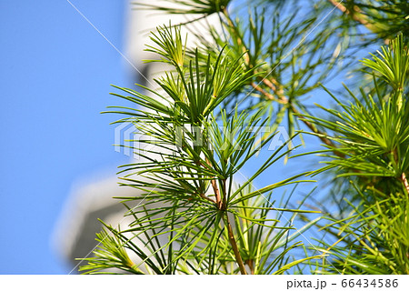 針葉樹と仙台放送テレビ塔 仙台市太白区 66434586
