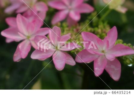 梅雨の花:雨上がりの庭のガクアジサイ 66435214