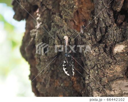 桜の幹を歩きながら小さなイモムシの体液を吸うヨコヅナサシガメ 66442102