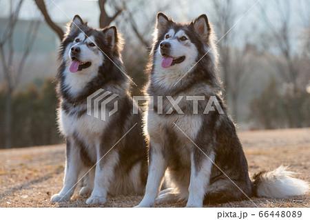 本 犬 ペット 66448089