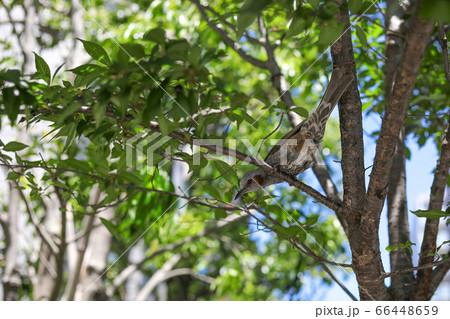 続落……、街路樹には高みの見物決め込むヒヨドリ(茅場町のヒヨドリ) 66448659