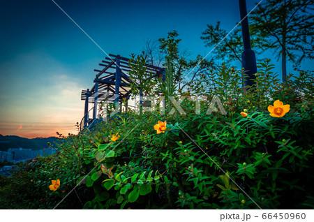 キンシバイと北公園の展望台の夕景、宝塚 66450960