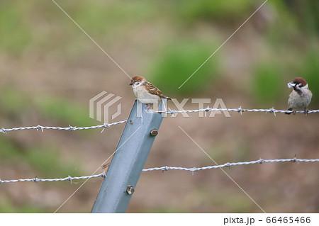 有刺鉄線の柵にとまるスズメの親子 66465466