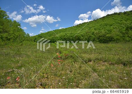 福島県昭和村 レンゲツツジ咲く初夏の矢の原湿原 66465919