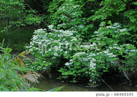 沢筋に咲くヤブデマリ-布沢川上流 福島県只見町 66469395