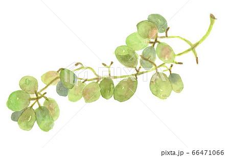 マスカット緑のブドウの水彩画 66471066
