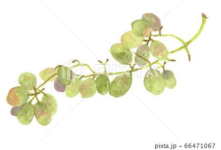 水彩画マスカット緑の葡萄の房 66471067
