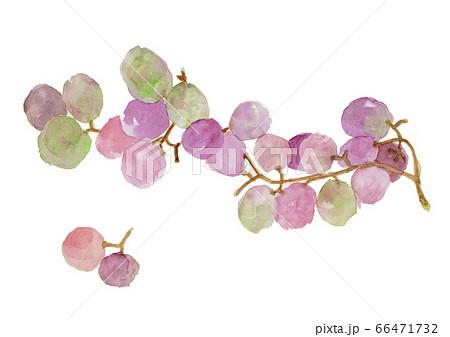 巨峰の紫の葡萄水彩画 66471732