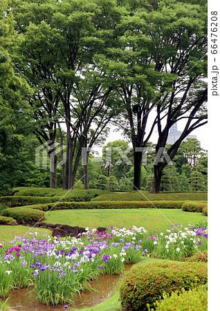 皇居東御苑、二の丸庭園の花菖蒲(6月)東京都千代田区 66476208