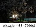 夜桜ライトアップ 66479908