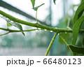 小枝と雨の雫 66480123