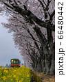 春花の共演 66480442
