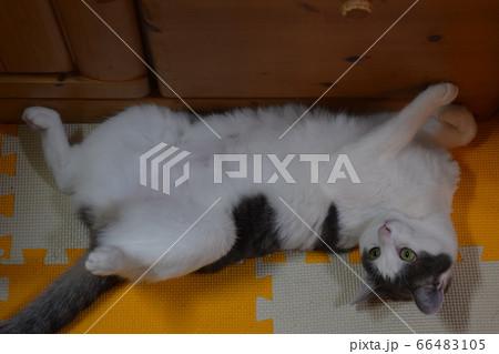仰向けになってリラックスする小猫 66483105