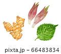 三種の薬味(やくみ)イラスト 生姜、大葉、ミョウガ 66483834