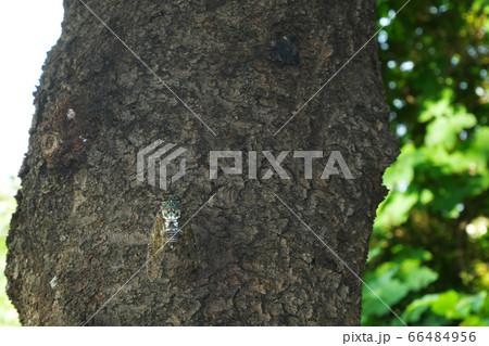 夏の公園で鳴くミンミン蝉 3:2バージョン 66484956