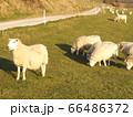 セブンシスターズの近くの牧場 羊 66486372