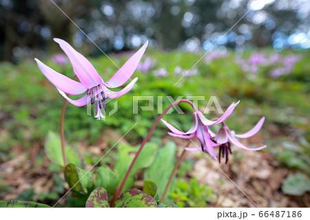可憐に舞うカタクリの花(愛知県豊橋市 カタクリ山) 66487186