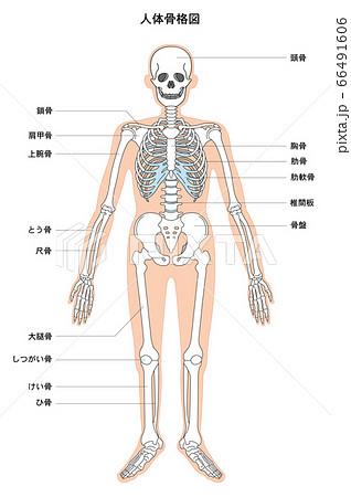 人体解剖図 骨格 66491606