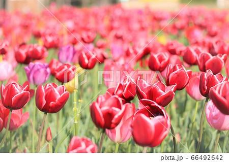春の花のある風景はチューリップが主役 66492642