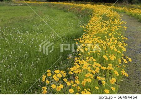 白い花穂を付けたチガヤとオオキンケイギクの群生 66494464