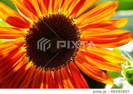 8月に満開になっているオレンジ色のヒマワリ 66495697