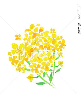 菜の花 66503052