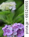 紫の紫陽花につかまり雨に耐えるバッタの子供 66524605