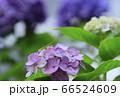 紫の紫陽花につかまり雨に耐えるバッタの子供 66524609