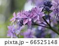 雨に耐えピンクの花を咲かす紫陽花 66525148